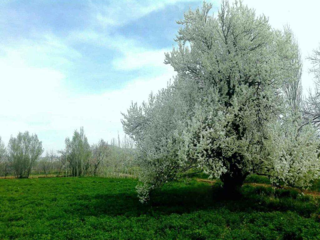 روستای زوارم طبیعت بهاری درختان